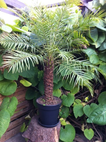 yucca palme brune blade