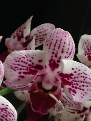 orkideer pasning af