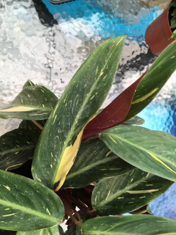 Stiklinger stueplanter